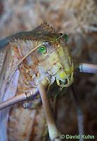 0409-1102  Giant Long-Legged Katydid, Giant Malaysian Katydid, Largest Insect in the World, Macrolyristes corporalis  © David Kuhn/Dwight Kuhn Photography