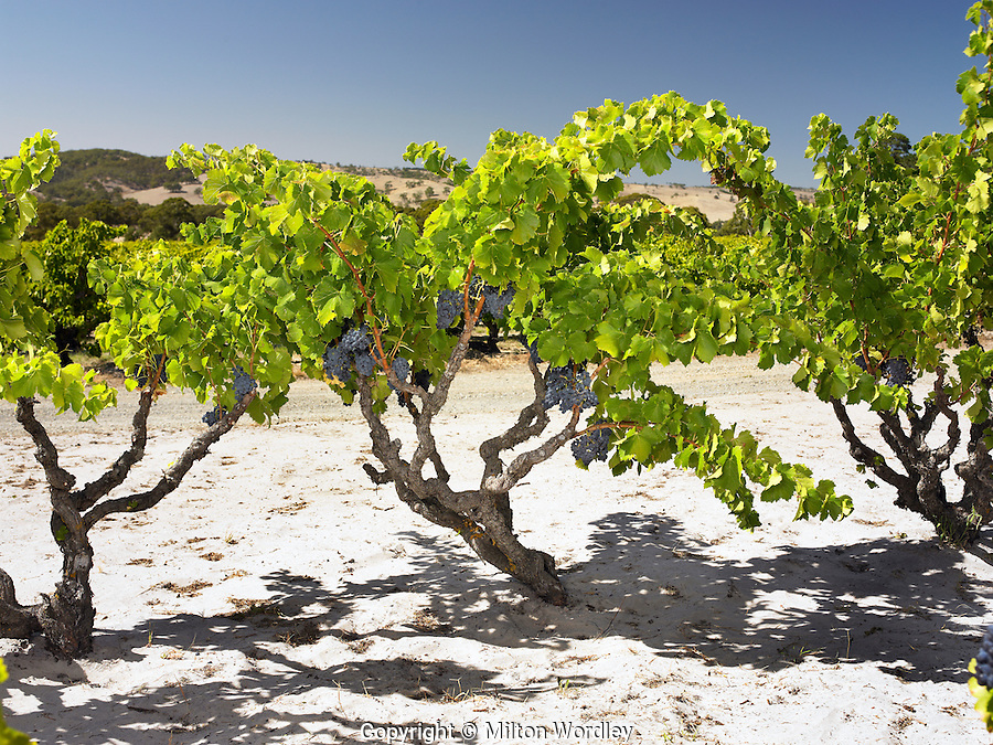 Grenache Vine in Summer