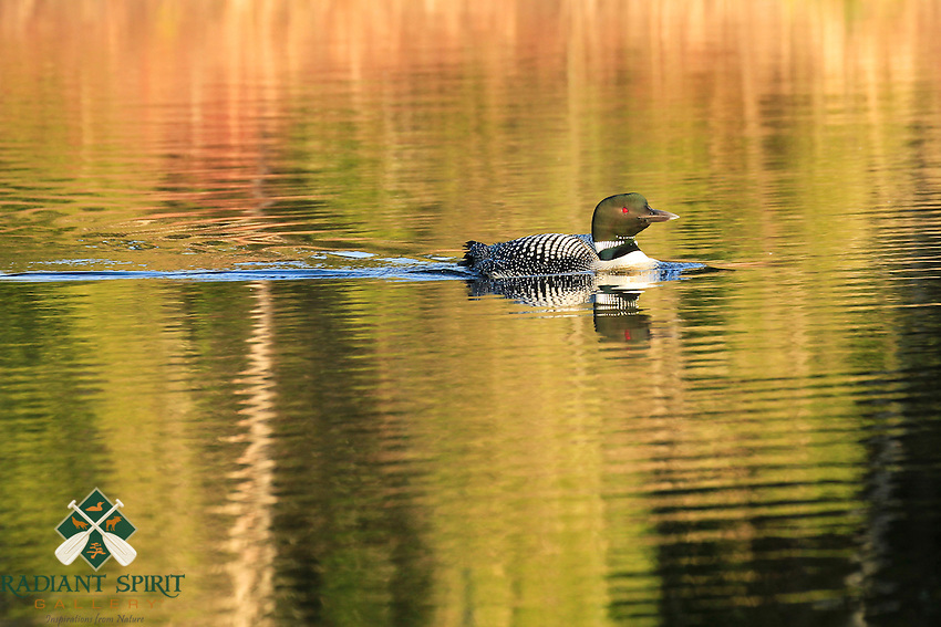 &quot;Loon Reflections&quot;<br />