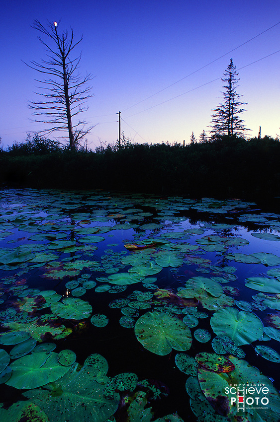 Lily pads on English Lake in Northern Wisconsin.