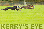 Glanmore Ben and Stoptheboozer in action at the Kilflynn Coursing on Sunday.