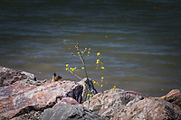 A sprig of yellow and a squirrel head sprout from the rocks lining San Leandro Marina Park's shoreline along San Francisco Bay.