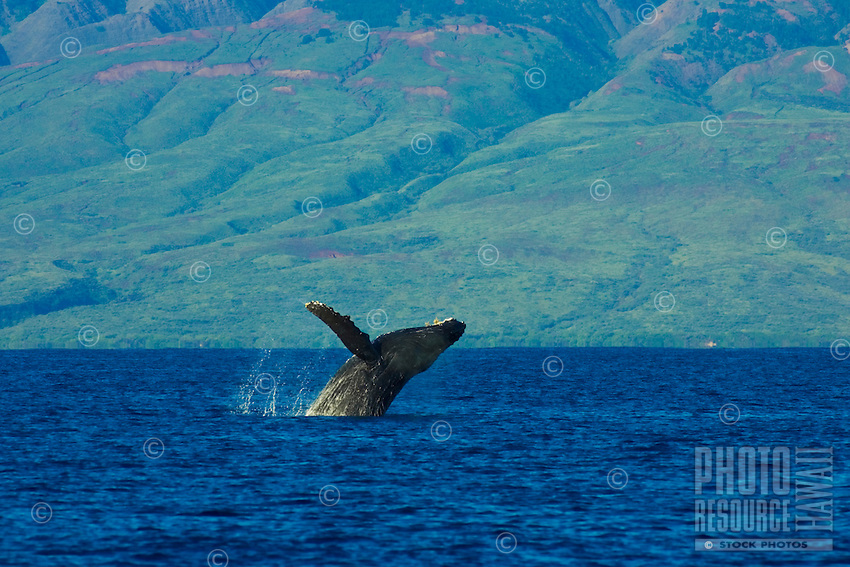 A humpback whale breachs off the coast of Maui.  The island of Lanai is in the distance.