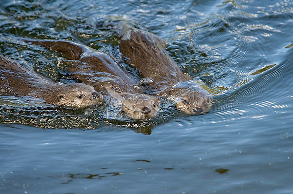 Three Northern River Otter (Lontra canadensis) pups practice their swimming.  Western U.S., summer.