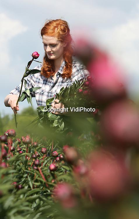 Foto: VidiPhoto<br /> <br /> BREDA - Na een relatief koud voorjaar is het donderdag eindelijk zover. Twee weken later dan normaal worden de eerste pioenrozen van het veld geoogst bij de Bredase kweker Corn&eacute; van Aert. Het oogsten is een secuur werkje. Per bloem wordt op het oog gecontroleerd of de knop kleur genoeg heeft om te oogsten. In totaal zullen er dit seizoen 70 miljoen stelen via de Nederlandse bloemenveilingen worden verkocht. De populariteit van de pioen is de laatste jaren sterk gestegen in Nederland. Een derde van alle pioenen van Nederlandse bodem blijft in eigen land. In vergelijking tot alle andere snijbloemen is dit extreem veel. Ook in Duitsland en Frankrijk is de populariteit flink toegenomen. De favoriete kleuren zijn roze, paars en wit. Het seizoen van pioenrozen loopt eind juni af.