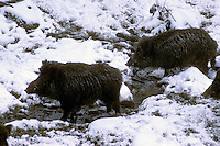 Wild zwijn (Sus scrofa) in de winter