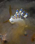 Yamasu's Cuthona, Aeolid nudibranch, Underwater macro marine life images;  Photographed in Tulamben; Liberty Resort; Indonesia.Underwater Macro Photographer on FB 2nd Annual event