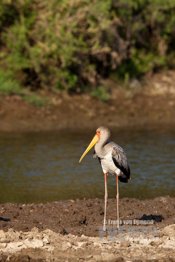 Yellow-billed Stork (Mycteria Ibis)...Mashatu Game Reserve..Tuli block, Botswana..November 2010.