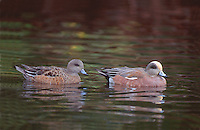 35-B02-WA-096   AMERICAN WIDGEON (Mareca americana) male and female on pond, western Oregon, USA.