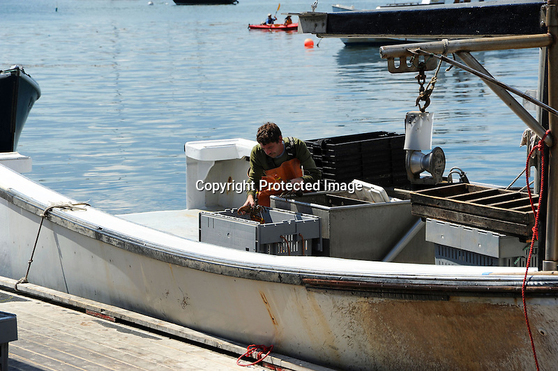 Fisherman Unloading his Catch of Lobsters at Dock in Maine, USA