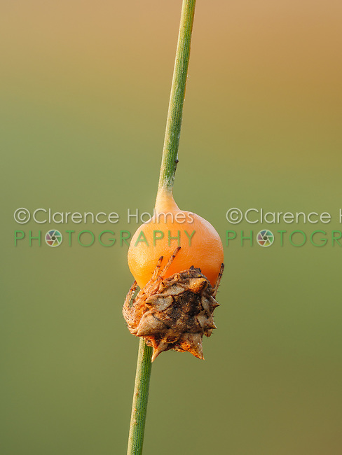 A female Orb Weaver Spider (Acanthepeira venusta) protects an egg sac attached to a marsh grass stem.