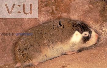 Cape Mole Rat (Georychus capensis), Bathygeridae.