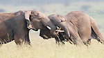 "Pictured: Two elephants lock trunks as they tussle and play fight with each other.   The two adult males were moving across the grasslands with their herd, but kept stopping to wrestle.<br /> <br /> The pictures were captured in the Masai Mara in Kenya by amateur photographer Phillip Chang.   The 63-year-old, who was born and raised in China but now lives in Rancho Santa Margarita, California, said: ""They were fighting for fun and did it for quite a long time.   SEE OUR COPY FOR DETAILS<br /> <br /> Please byline: Phillip Chang/Solent News<br /> <br /> © Phillip Chang/Solent News & Photo Agency<br /> UK +44 (0) 2380 458800"
