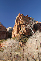 Cliffs of Mount Moroni above cottonwood trees, Zion National Park, Washington County, UT