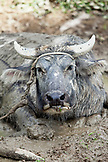 PHILIPPINES, Palawan, Batak, water buffalo lies in the mud in Tanabag Village