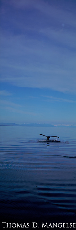 The fluke of a diving Humpback Whale in Southeast Alaska.
