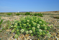 Rock-samphire (Crithmum maritimum) at Hurst Spit, Hampshire