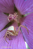 CS04-003a  Crab spider waiting for prey