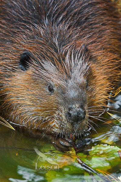 Beaver (Castor canadensis) chewing cottonwood twigs,  autumn, Nova Scotia, Canada.