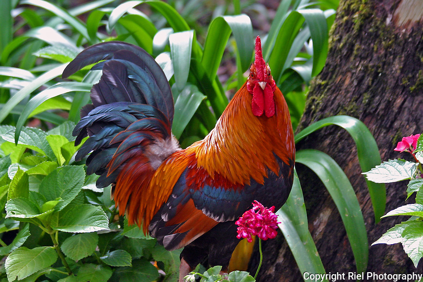 I walked a trail to the Palácio da Pena and came across this rooster who graciously posed for his photo, Portugal