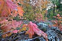 Autumn, Mountain Maple, Palisades Creek Trail, Swan Valley, Idaho