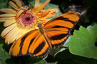 Dryadula phaetusa, also known as the Banded Orange Heliconian, Banded Orange, or Orange Tiger, is a species of butterfly (an insect). The sole representative of its genus, the Banded Orange Heliconian is native from Brazil to central Mexico, and in summer it can be found rarely as far north as central Kansas. Its wingspan ranges from 86 to 89 mm, and it is colored a bright orange with thick black stripes in males, and a duller orange with fuzzier black stripes in females.<br /> <br /> It feeds primarily on the nectar of flowers and bird droppings, and its caterpillar feeds on passion vines including Passiflora tetrastylis. It is generally found in lowland tropical fields and valleys.