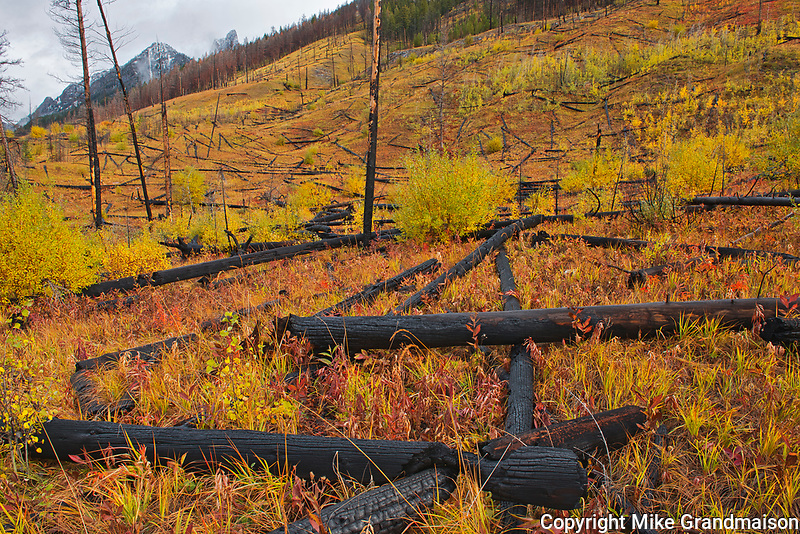 Fall colors in old burn at Sawback Range in the Bow Valley.<br />Banff National Park<br />Alberta<br />Canada