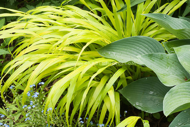 Hakenochloa macra 'Allgold' aka 'All Gold', Hosta 'Hadspen Blue', Forget-me-not Myosotis in blue flowers in spring