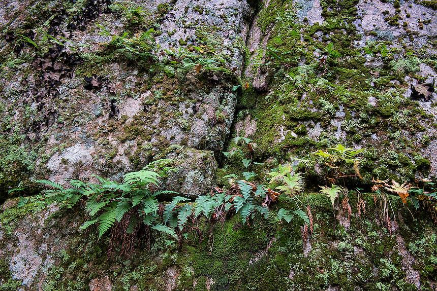 Granite and ferns, Acadia National Park, Maine, USA