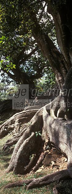 France/DOM/Martinique/Le François/Domaine de l'Acajou/Distillerie Clément: Habitation Clément - Détail de l'un des arbres du parc