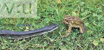 Gray Rat Snake ,Elaphe o. obsoleta, facing its prey, an American Toad ,Bufo americanus,, North America.