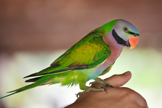 A PARAKEET on KOH PHRA THONG ISLAND located in the Andaman Sea - THAILAND