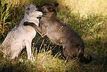 Grey wolves, Alaska