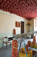 An abundance of freshly harvested pomodorino piennolo del Vesuvio tomatoes hanging from the ceiling and walls of the farmer's house to dry for the winter season
