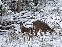 MA11-502z White-tailed Deer in winter, Odocoileus virginianus