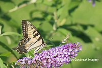 03023-03110 Eastern Tiger Swallowtail (Papilio glaucaus) on Butterfly Bush (Buddleja davidii) Marion Co. IL