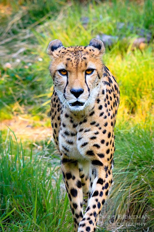 A cheetah (Acinonyx jubatus) is walking towards viewer and stares directly at you with a grassy background