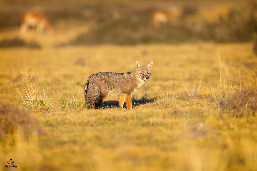Adult Patagonian Fox (Lycalopex griseus) near the entrance to its burrow watches us as the Guanacos browse in the background. The soft early morning light really brought out the peacefulness and tranquility of the scene.