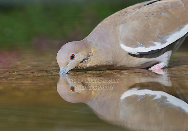 White-winged Dove (Zenaida asiatica), Hill Country, Texas, USA