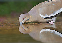 White-winged Dove (Zenaida asiatica), Hill Country, Texas, USA