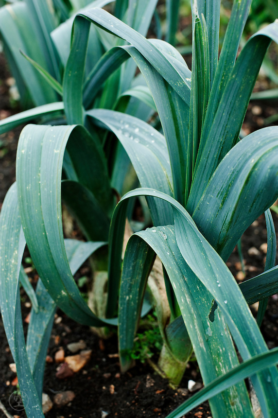 Leeks growing in a Cambridgeshire allotment garden.