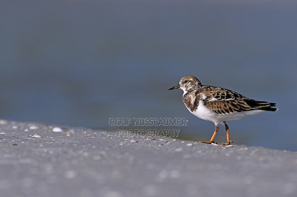 Ruddy Turnstone, Arenaria interpres, adult winter plumage, Sanibel Island, Florida, USA