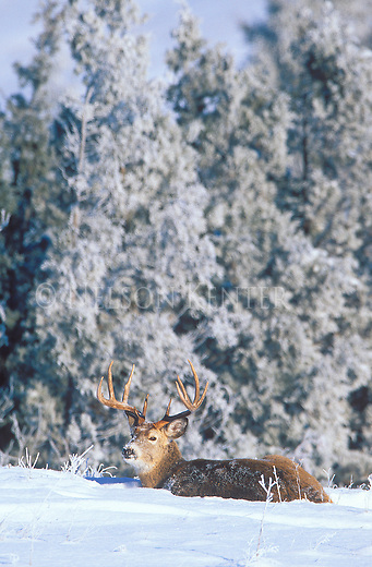 Whitetail buck bedded in the snow with frost covered juniper trees in Montana
