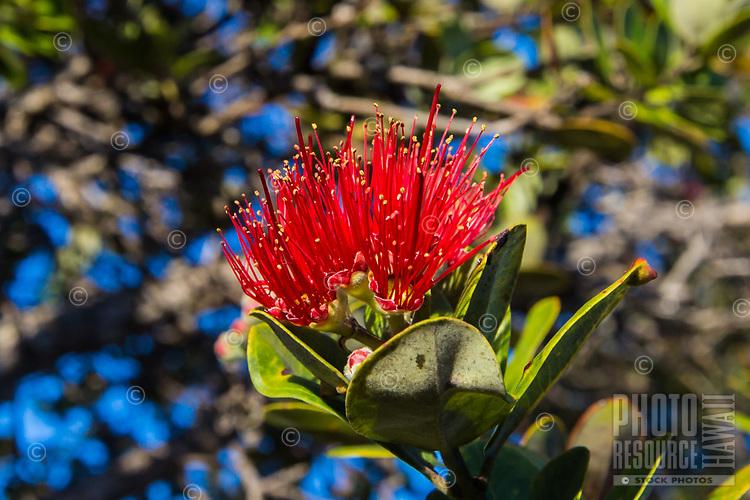 Close-up of a red 'ohi'a lehua blossom, Big Island of Hawai'i.