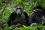 Africa, Uganda, Kibale National Park, Ngogo Chimpanzee Community. Wild Chimpanzees pant hoot