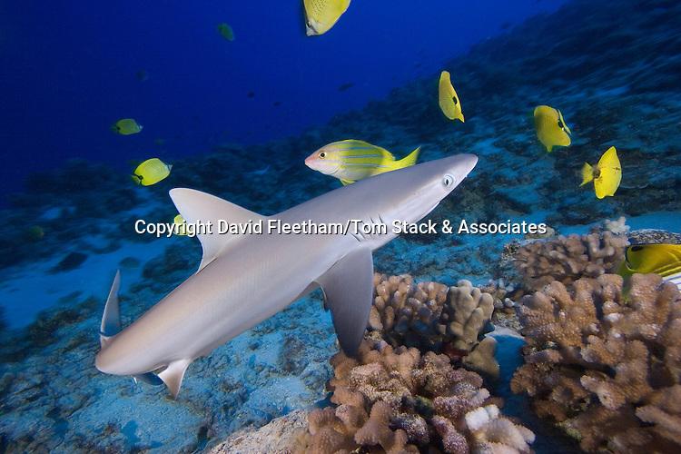 Grey reef shark, Carcharhinus amblyrhynchos. Hawaii.