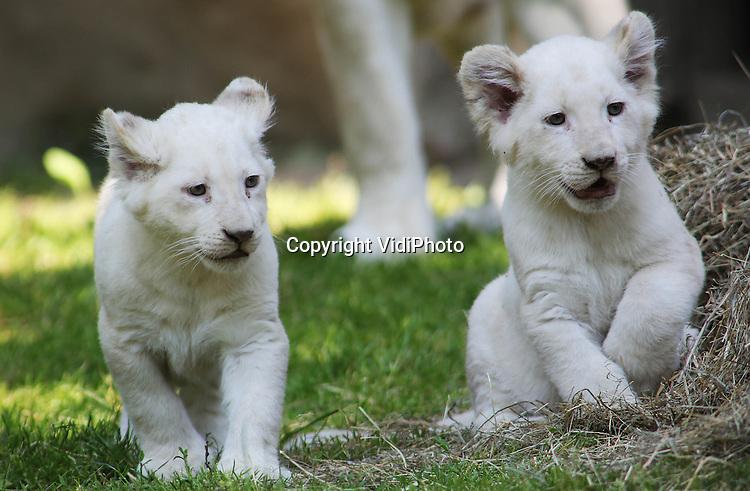 Foto: VidiPhoto<br /> <br /> RHENEN - De op 6 maart geboren zeldzame Afrikaanse witte leeuwtjes van Ouwehands Dierenpark in Rhenen, mochten donderdag voor het eerst naar buiten. De afgelopen maanden hebben de jongen samen met hun moeder Bandhura achter de schermen gezeten. De andere leeuwen van de groep zullen in de dagen erna worden ge&iuml;ntroduceerd bij moeder en haar welpen. Ouwehands heeft de zeldzame witte welpjes aangeboden aan het nieuwe koningspaar. Ouwehand kwam op dit idee omdat de twee pasgeboren leeuwen een mannetje en een vrouwtje zijn en dit in de volksmond ook wel &quot;koningskoppel&quot; wordt genoemd. Daarnaast is de leeuw natuurlijk de Koning der Dieren. De twee leeuwen hebben de namen &quot;Inkosi&quot; (koning) en Ilumbo (betoverend) gekregen.