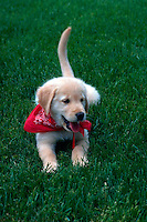 Golden retriever puppy lying in the grass looking happy, with tail in the air.