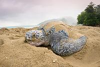 leatherback sea turtle, Dermochelys coriacea, female, nesting, at sunrise, Grand Riviere, Trinidad, Trinidad and Tobago, Caribbean Sea, Atlantic Ocean