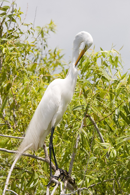 The Great egret preens itself.